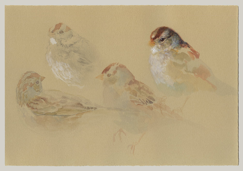 White-crowned Sparrows, immatures