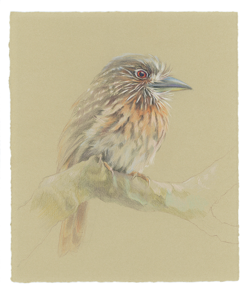 White-whiskered Puffbird, colored pencil on paper, 2014.